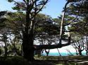 クブニーの木